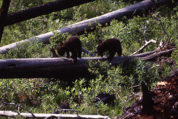 cubs on a stroll