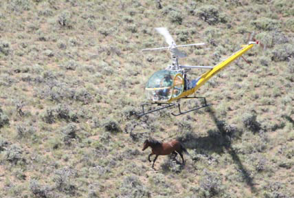 The BLM uses a variety of tactics to gather horses during a roundup.