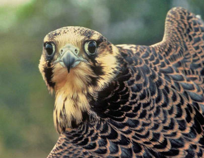 Falcons are quite territorial and will often abandon nests to defend their territory, which leads to nest failure and low reproductive success.