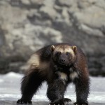 . There are approximately 250-300 wolverines in the lower 48. More than half of the population exists in Montana, with smaller populations in Idaho, Wyoming and Washington.