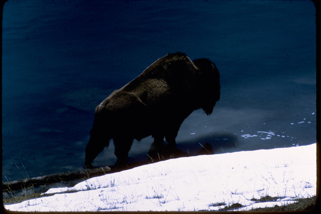 Visitors to Yellowstone National Park must stay at least 25 feet-the length of two regular school busses-away from bison and elk.