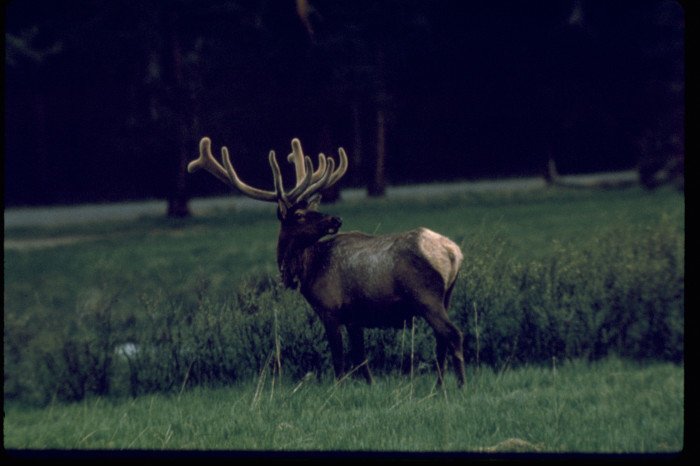 Bull elk are more aggressive this time of year. Park visitors should keep a safe distance from all park wildlife.