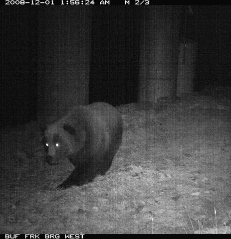 This grizzly bear uses the crossing at night.