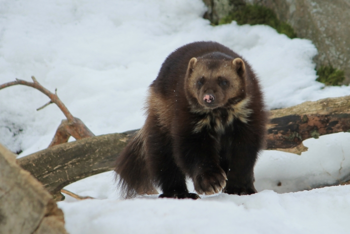 Armed with powerful jaws, sharp claws, and a thick hide wolverines and are remarkably strong for their size. They may defend kills against larger or more numerous predators such as wolves or bears.