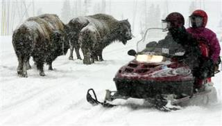 In Yellowstone National Park, the bison own the road. (NPS photo)