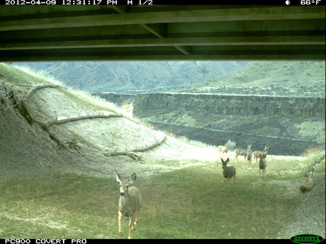 Once the wildlife find their way they continue to use the underpass and they migrate up from the Boise River drainage. IDFG photo.