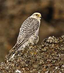 The gyrfalcon breeds on Arctic coasts and the islands of North America, Europe, and Asia. Wikimage.