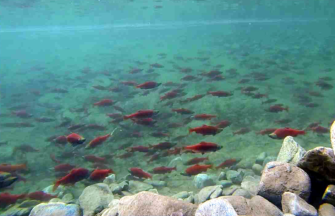 Anglers took notice and early estimates indicate that anglers harvested nearly 150,000 kokanee last year.