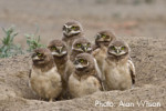 Burrowing Owls are listed as Endangered in Canada and Threatened in Mexico. They are considered by the U.S. Fish and Wildlife Service (USFWS) to be a Bird of Conservation Concern