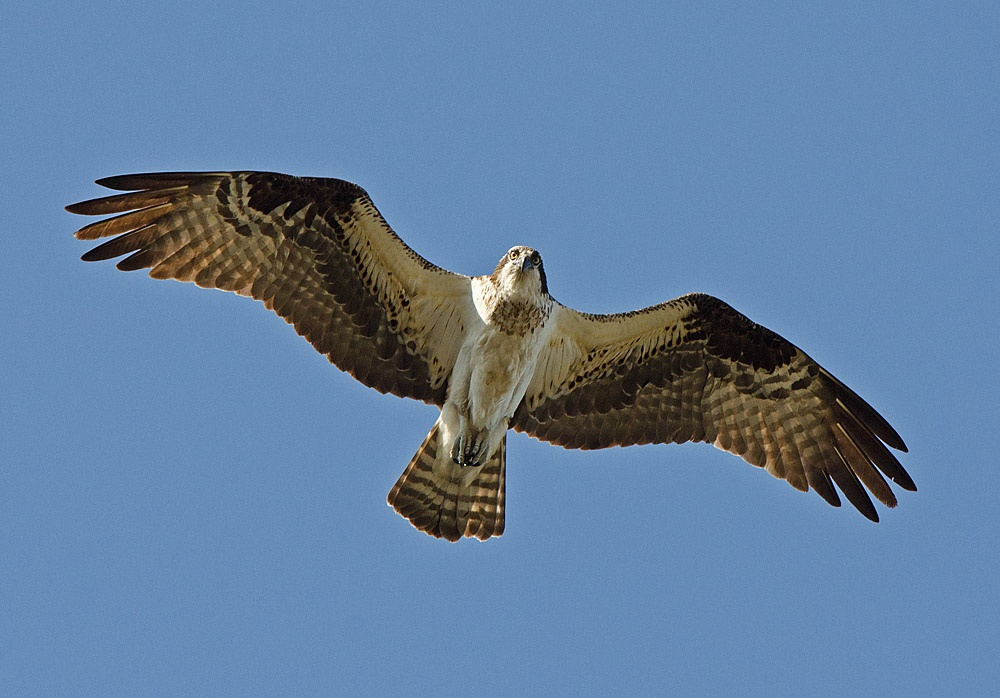 At least 100 pairs of osprey nest annually in the Coeur d'Alene Lake region including the lower reaches of the St. Joe and Coeur d'Alene Rivers.