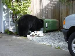 Even in populated areas bears can become a problem and they may have to be dispatched.