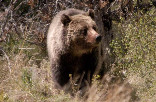 A grizzly bear study is underway in the park and backcountry visitors are warned to be aware of an bear activity.