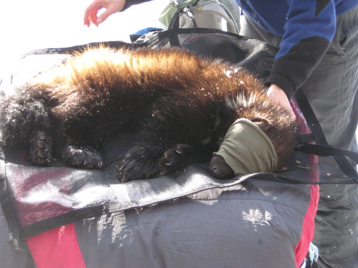 Idaho wolverines are the subjects of studies that will help determine the species management in the West.