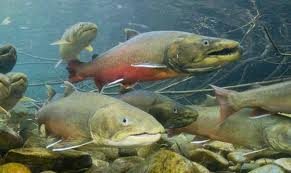 Ocean salmon are returning Idaho in very big numbers. (USFWS image)