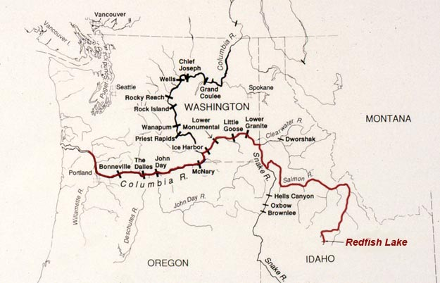 Sockeye salmon travel more than 900 miles from the Pacific Ocean to the high mountain meadows of central Idaho.
