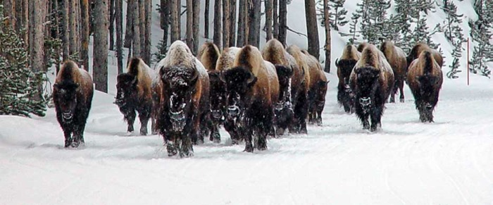 Bison move down the road in an early walk toward the relative warmth of Geyser Basin.