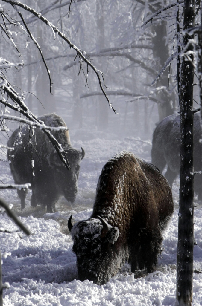 A snow coach is probably the most comfortable way to see Yellowstone in the winter. NPS photo.