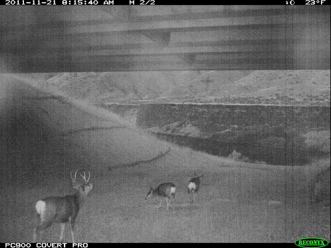 Deer crossing through the underpass at night. Once the final stage of fencing is installed travel safety along the highway will be greatly improved. IDFG photo.