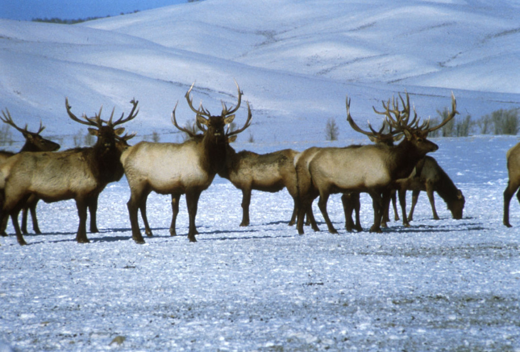 Elk are collared and can be tracked by satellite 24/7. National Elk Refuge photo.