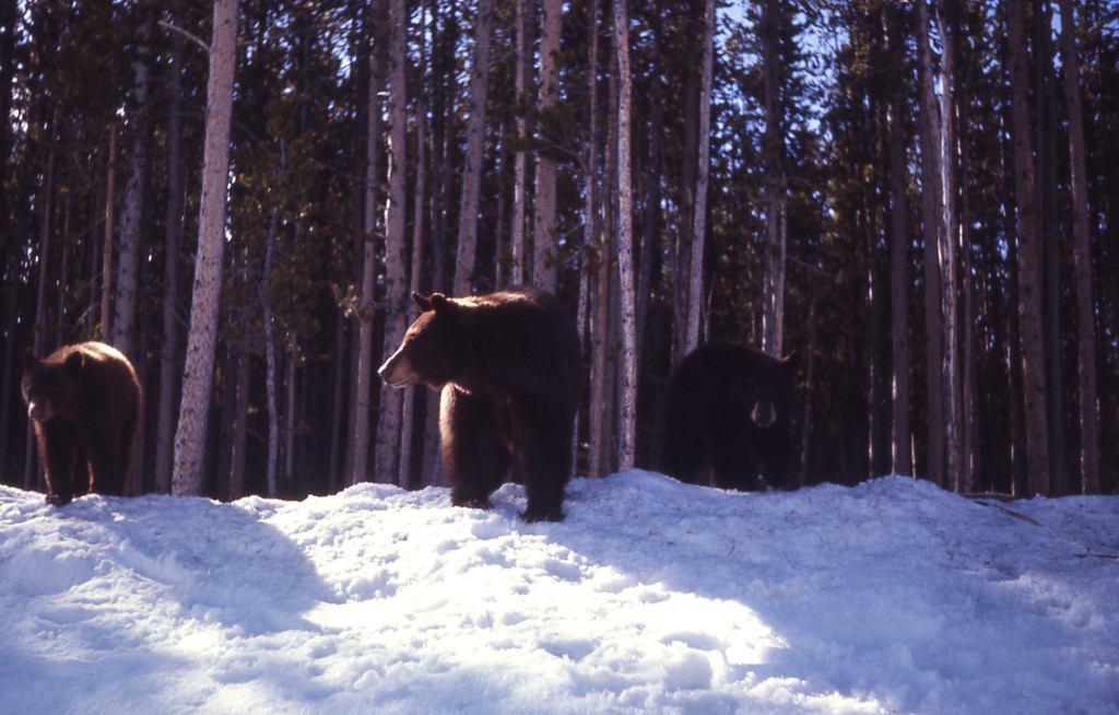 Yellowstone also implements seasonal bear management areas closures to reduce encounters between bears and humans in areas where elk and bison carcasses are in high density. NPS photo.