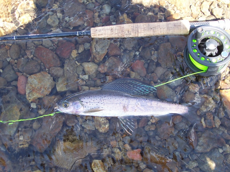 Arctic grayling-Fluvial Arctic grayling (shown here) and westslope cutthroat trout are being returned to the waters of Yellowstone National Park. (NPS photo)