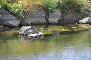 In 2012, several areas reported fish die offs in several regions of the state, primarily in eastern Idaho. (IDFG photo)