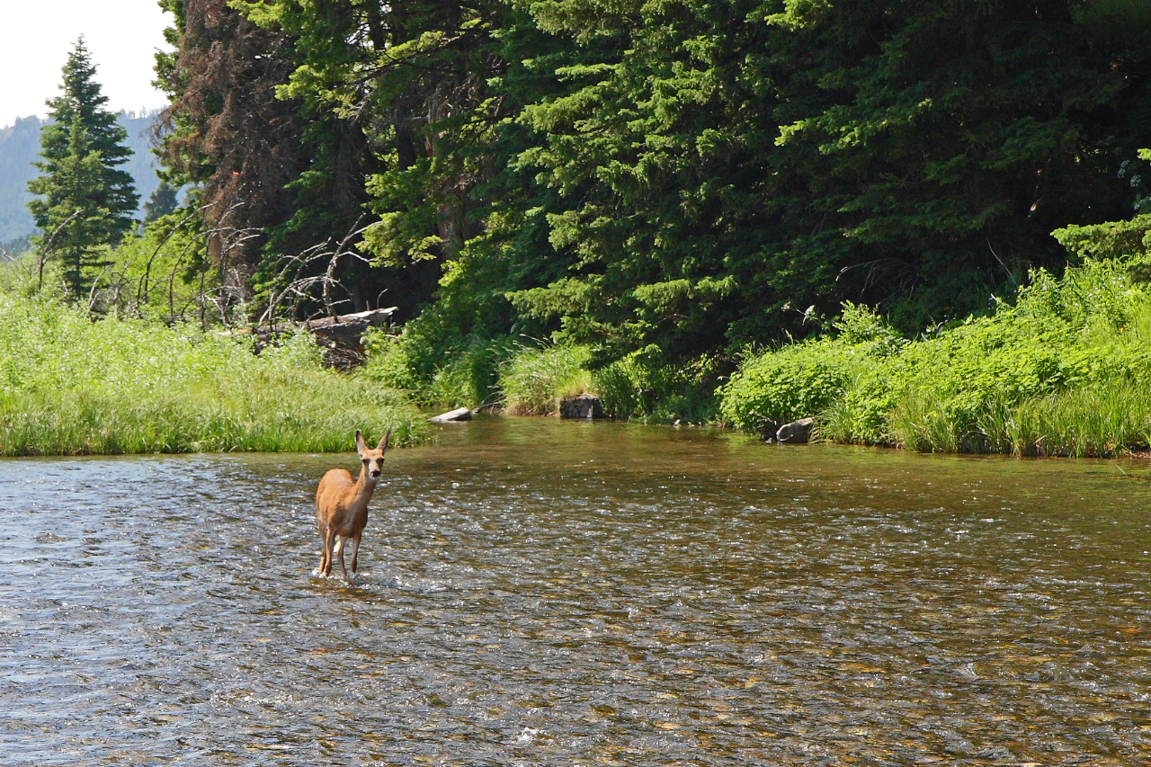 Yearling mule deer at home in the cool Madison River. (Keith Carlson photo.)