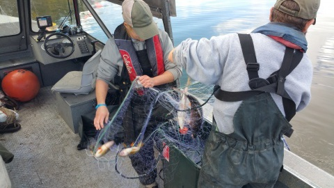 IDFG used specially adapted gill nets to capture, measure and release the lake's targeted yellow perch in a survey that proved their restoration efforts have proved successful. (IDFG photo)