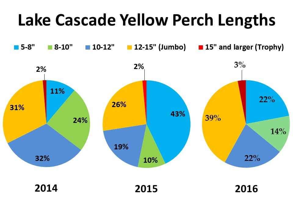 There has been a steady rise in the number of Jumbo perch in Lake Cascade (IDFG graphic)